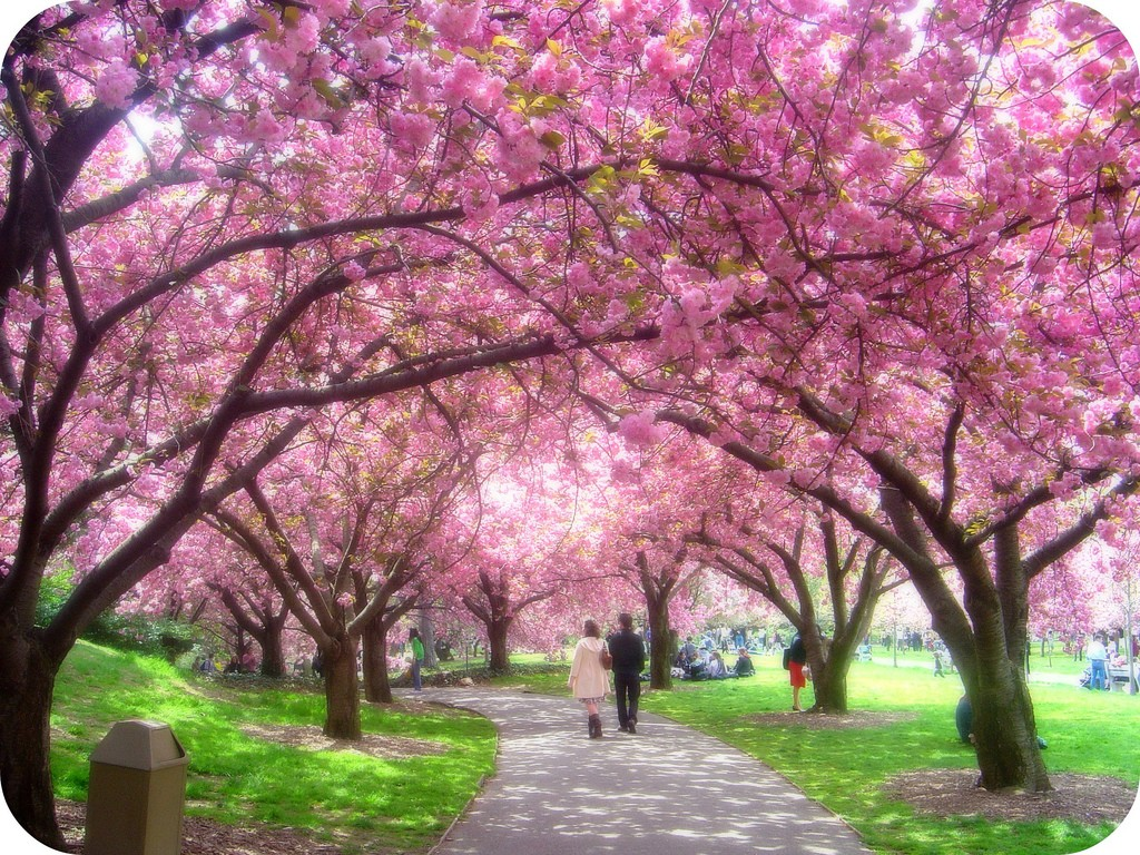 Quotes for cherry blossoms life with tess Cherry blossom pictures